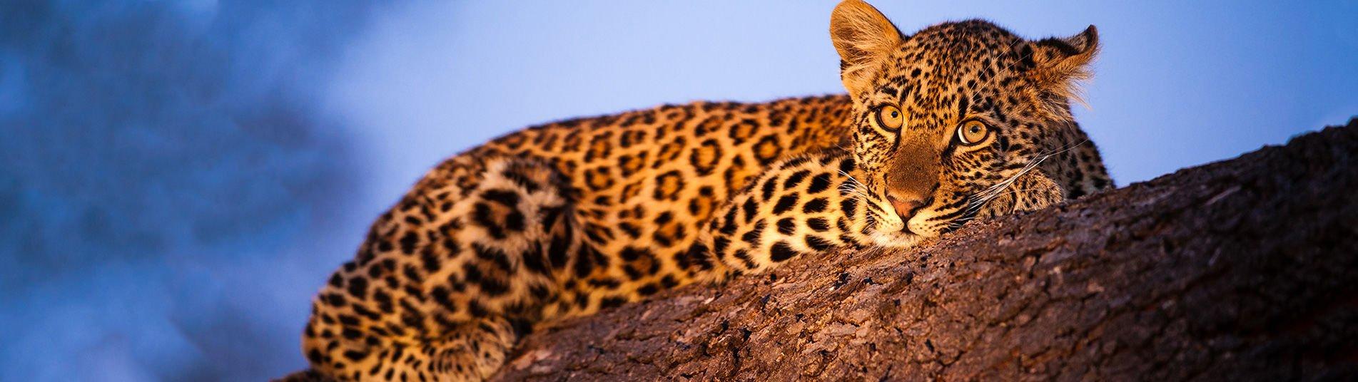 Léopard en Afrique du Sud